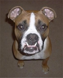 Top down view of a tan with white and black Valley Bulldog puppy that is sitting on a carpet and it is looking up. The dog has an underbite and its bottom canine teeth are showing on top of its lips. It has a black nose.