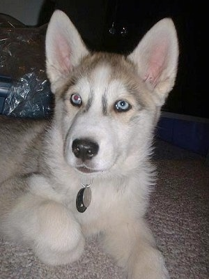 "wolf hybred named ""Tukai"". He is 25% Siberian Husky 75% Timber Wolf"