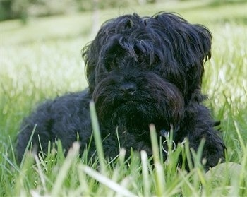 This Yorkie-poo's name is Smuce Funkelstein. His mother was a Toy Poodle, and his father was the Yorkshire Terrier