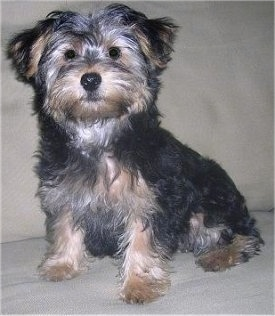 Pinpon, a 4 month old Yorkipoo