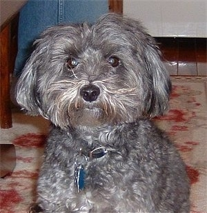 Front view - A grey Yorkipoo is sitting on a rug and it is looking forward. It has wavy hair on its body and straigher hair on its head and ears. The hair on its head is parted in the middle and falls down to each side of its head. Its eyes are dark wide and round and its nose is black.
