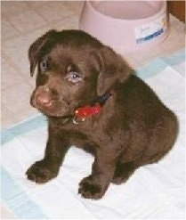 A small chocolate Labrador Retriever puppy is sitting on a pee pad and looking forward. There is a pink water dish behind it.