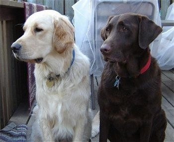 A Chocolate Lab is sitting on a wooden deck next to a Golden Retriever. They are looking to the left. There are chairs covered in plastic behind them