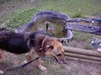 A German Shepherd is standing in a lawn in front of a man made fish pond