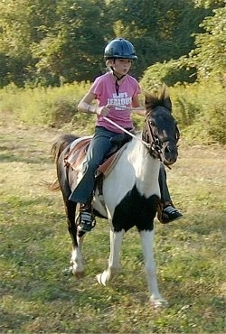 A girl in a pink shirt and a blue riding helmet is riding a brown and white with black pain Pony. They are coming to a stop.