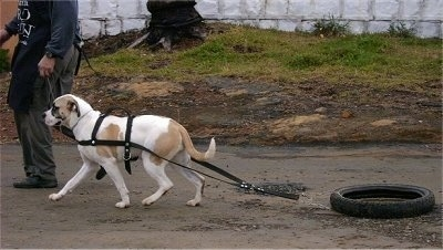 American Bulldog walking along a dirt path and pulling a bicycle tire receiving weight-pulling training