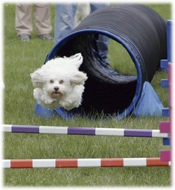 A Havanese Dog just ran though an agility tube and is in mid-air jumping over a bar obstacle in a field