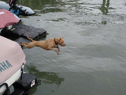 Dro the Pit Bull is in mid-air jumping off of a boat into a body of water