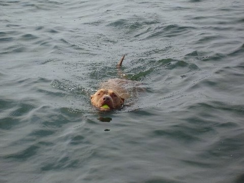 Dro the Pit Bull is swimming through the body of water with a tennis ball in its mouth