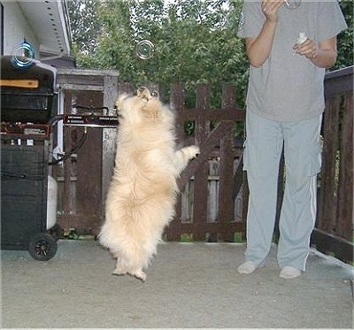 Jessy the Pomchi is in mid-air jumping on a back porch. Jessy is trying to grab a bubble being blown by a person
