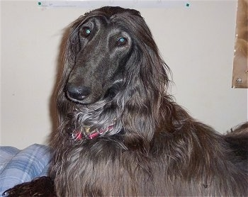 The left side of a black Afghan Hound that is laying on a bed and it is looking forward.