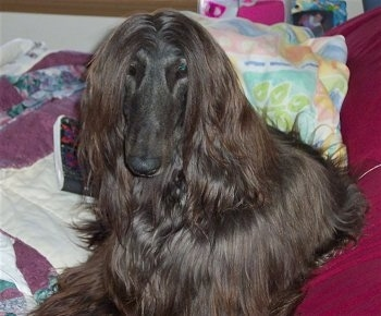 The front left side of a black Afghan Hound that is laying on a bed next to a closed notebook.