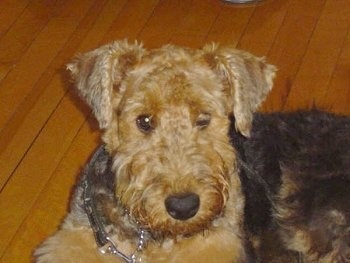 Close up - The left side of a black with tan Airedale Terrier that is laying on hardwood floor. It has one eye closed and one eye open