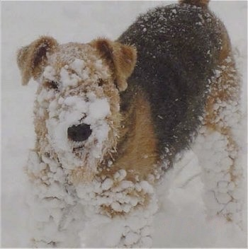 Close up - The front left side of a black with tan Airedale Terrier that has large clumps of snow stuck in his coat.