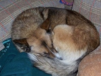 A brown with white and black Alaskan Husky is curled up in a circle, on a couch and on a blanket