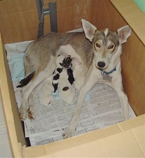 The right side of a white with tan Alaskan Husky that is laying against the back of a whelping box her litter of puppies
