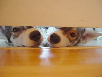 Two Alaskan Huskys are sniffing under a door