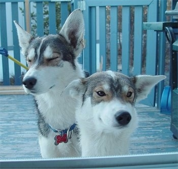 Two Alaskan Huskys are standing on a wooden porch with a grill behind them.