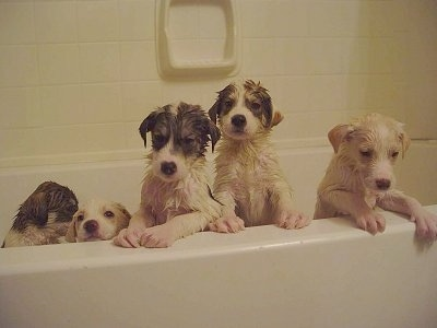 Five wet Alaskan Husky puppies are in a bath tub