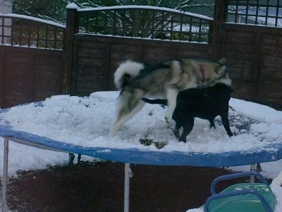 The right side of a black with white and gray Alaskan Malamute and a Black Labrador that are playing around on a snow covered trampoline