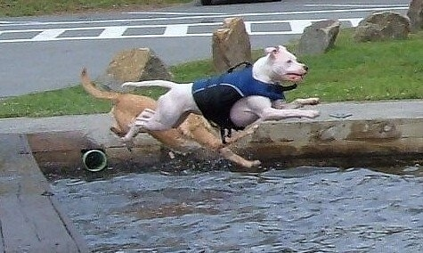 Porshce the American Pit Bull Terrier is jumping into a body of water while wearing a blue life vest. There is another dog jumping into the water with Porsche
