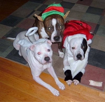 Three Pit Bull Terriers dressed in costumes. Left - wearing angel wings and a halo. Middle - Elf waes and an elf hat. Right - Santa jacket and beard