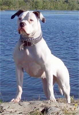 Coreah the American Bulldog standing on a rock with a body of water in the background