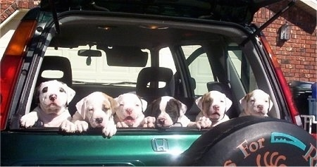 Litter of six American Bulldog puppies sitting in the trunk of a car with the back window open