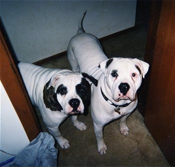 Two American Bulldogs standing at the door of a room