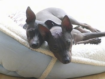 Two American Hairless Terriers are laying back to back on a tan and light blue dog bed. They have wrinkles on their forehead.