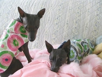 Two American Hairless Terriers are wearing raincoats and laying down on a couch on a fluffy pink blanket