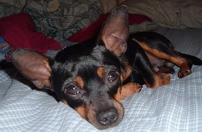 Buddy the Rat Pinscher laying down on a bed with pillows in the background