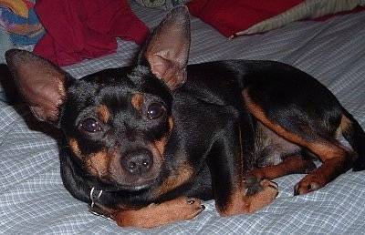 Buddy the black and tan Rat Pinscher laying down on a bed