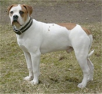 The left side of a white with brown American Bulldog that is standing across grass in a field and it was looking forward.