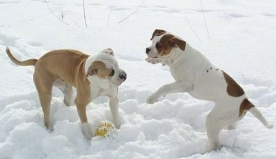 Two American bulldogs are playing around in the snow with a ball under the dog on the left