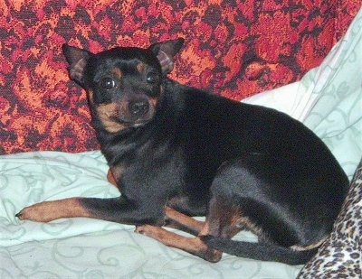 Buddy the Rat Pinscher laying down on a bed looking back