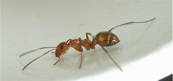 Close-up, Red Ant on a countertop