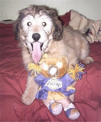 A tan with white Aussiedoodle Puppy, with its mouth open and its tongue out, is laying on a bed with a lakers cheerleader bear plush toy.