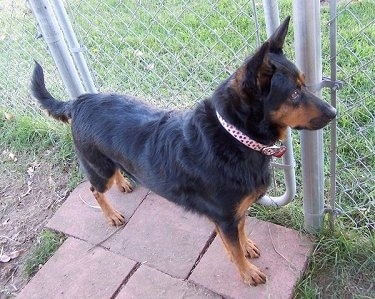 The front right side of a black wiht brown Australian Kelpie that is standing across sidewalk bricks in front of a fence gate and it is looking to the right.