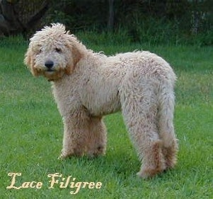 Cream colored Australian Labradoodle standing in a yard with the words 'Lace Filigree' overlayed