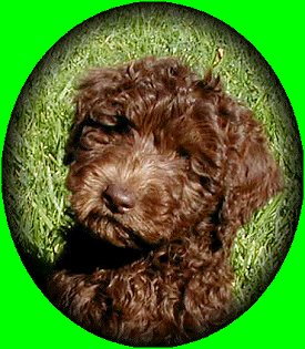Hershey the chocolate Australian Labradoodle puppy sitting in a field
