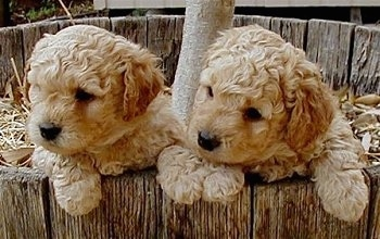 Close Up - Two Australian Labradoodle puppies hanging over the edge inside of a wooden tree well