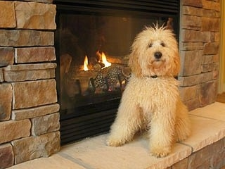 Cream colored Australian Labradoodle sitting next to a fireplace