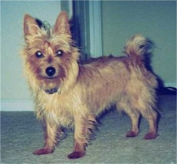 The left side of a tan Australian Terrier that is standing on a carpet and it is looking forward.
