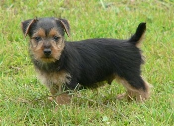 The left side of a black with brown Australian Terrier puppy that is standing on grass and it is looking forward.