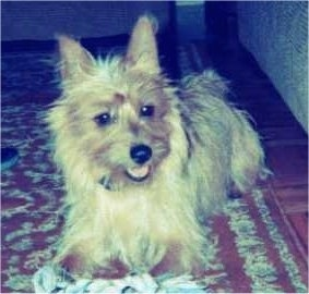 A tan Australian Terrier is laying on an oriental rug with its mouth open and its head is slightly turned to the right.