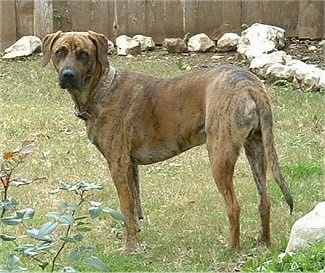 Brindle Black Mouth Cur