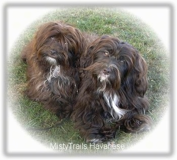 Two small longhaired, chocolate with white Havanese dogs are sitting in grass, they are looking up and their heads are tilted to the right. The dog's eyes are golden brown.