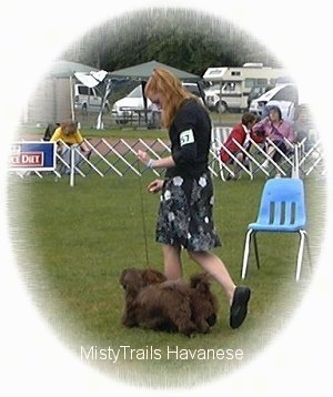 A lady in a black dress is leading two chocolate Havanese dogs on a walk across a field at a dog show.