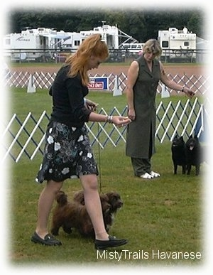 A lady in a black dress is looking down at the two brown Havanese dogs she is leading on a walk across a yard. In the background there is a lady behind her holding back two black Schipperke dogs.